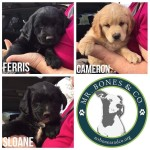 Ferris Bueller Puppies